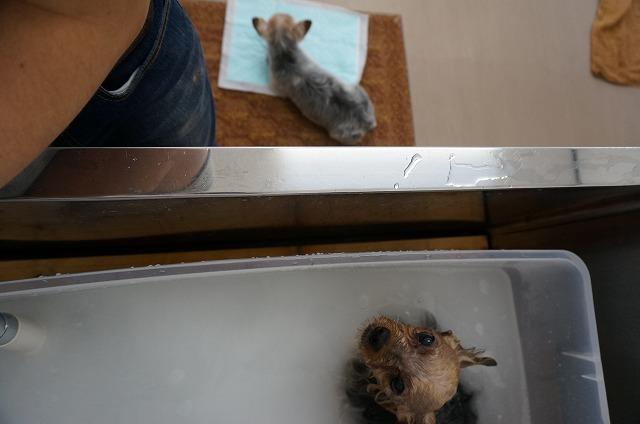 ビビちゃんの入浴中は「男好き」のチビタちゃんの……