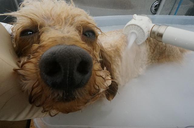 バブルでシュワシュワ~(*´Д`)♪ バブルも気持ちいい♥♥ シャンプー&お風呂好きなマロウちゃんです(*^^*)