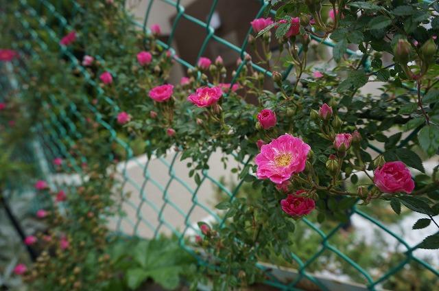 気が付いたら花壇の野ばら(確か)に花が咲いていました(^O^) 素敵やん♪ ちょっと綺麗なので宜しければ「チラッ」とチェックしてみて下さい(*´з`) 棘にはご注意下さいね~!!