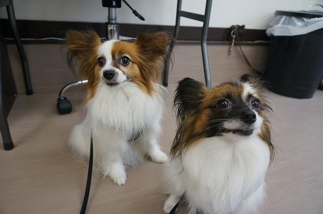 続いてパピヨンのアリスちゃん(左)&ショコラちゃん(右)(*'ω'*)