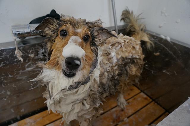 ワイルドな汚れをたっぷりゴシゴシ~で綺麗に(*´з` とっても)洗いがいのあるハッピーちゃんです♪♪