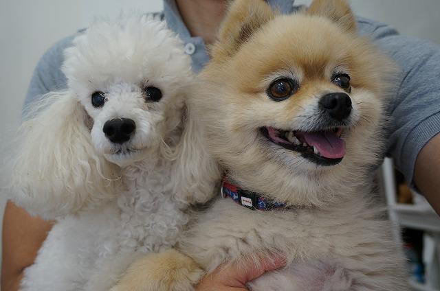 続いて今日も仲良くやってきました♪ 一応看板犬のチップ&一応副看板犬(笑)のTプードル!メロンちゃん(*'ω'*)