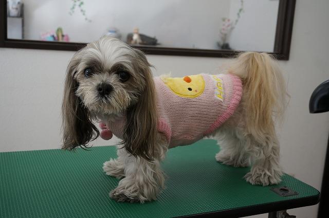 来店時のフサフサ~&ぴよぴよスタイルの桃ちゃんが~~