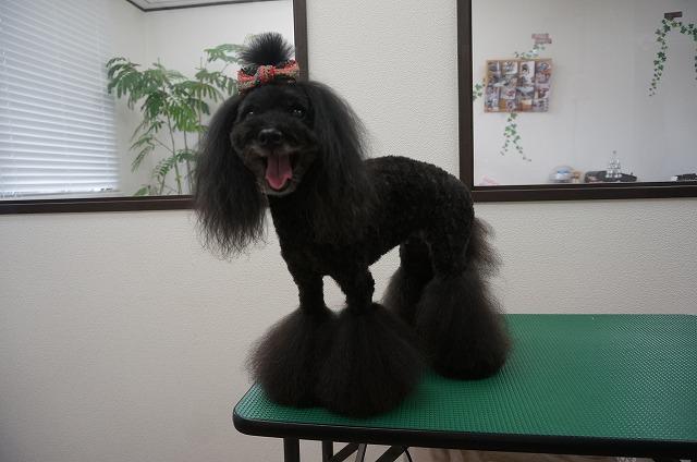 さらに頭のお毛毛を短く整えていつものさらふわ美少女ナナちゃんに変身(*^▽^*) 今日はちょっぴりアジアンなリボンでキメ☆