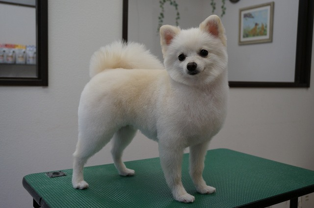 今日もサッパリカットして子犬風イケメンに変身(*^▽^*) 毛量もドンドン立派になって愛らしさに磨きがかかってます♪♪