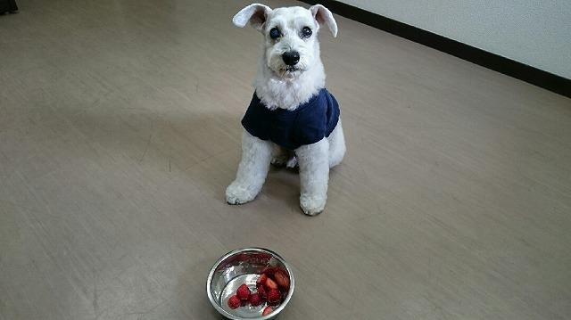 昨日が12歳の誕生日だったので(*´Д`) 1月15日=いいイチゴ♥ 空ちゃん召し上がれ(*^^*)