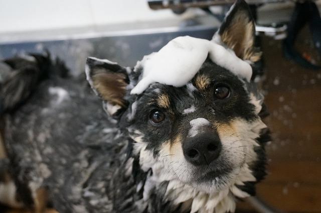 柴犬のげんまいちゃん(*´ω`) つぶらな瞳の男前さんです♪ 泡盛り盛りでシャンプーゴシ~(*´Д`)