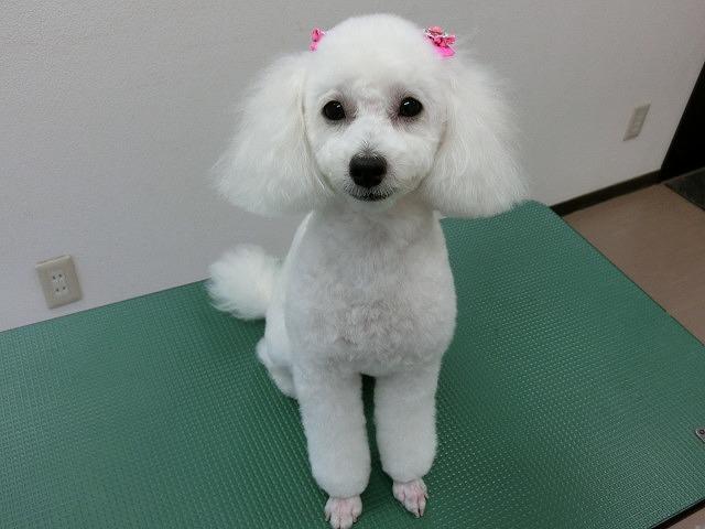 いつも嬉ションちょろ~っと来てくれてありがとうね(*^^)v いうまでも子犬の様なさくらちゃんでした♪