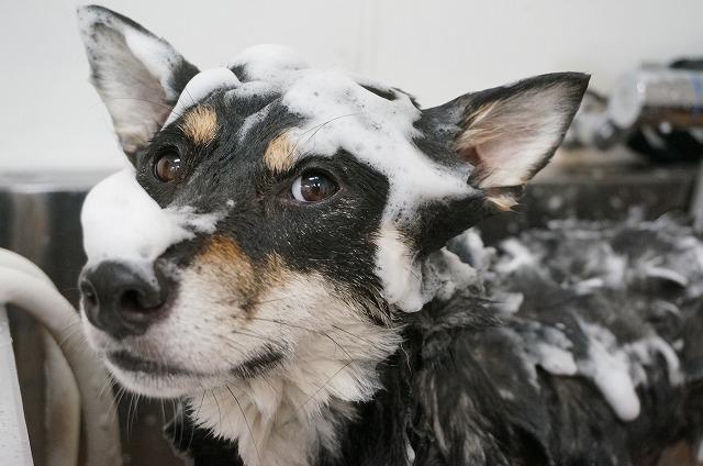 続いて柴犬のうずめちゃん(*'ω'*) お耳ペッタンコで頭ナデナデ~させてくれる癒し系女子です(*´з`) チラリ~♪