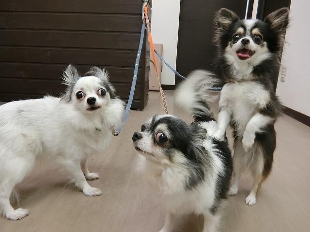 続いてお手入れで来てくれました♪ チワワのルナちゃん(右)、テンちゃん(真ん中)、サンちゃん(左)(*'ω'*) みんな揃って仲良くお手入れ出来ました☆ いつもありがとうね♪