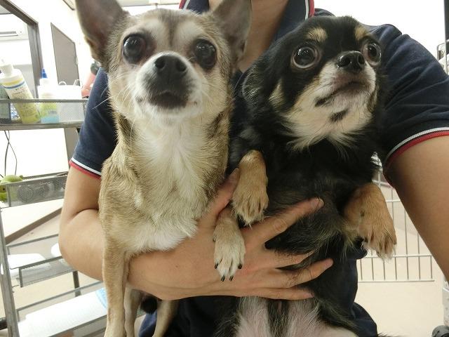 続いてお手入れで来てくれたチワワのココアちゃん(左)&コーラちゃん(右)(*'ω'*) 今日は揃ってお利口さんに歯磨きもさせてくれました♪ ワンちゃんも歯は命だもんね~(*^^)v