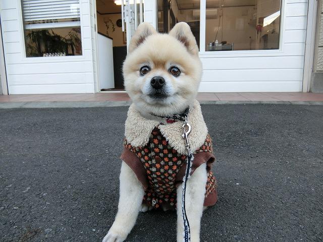 月一回数時間しか店にいない「一応」看板犬のチップです!! よく「看板犬なんていたっけ?」っと言われますが…僕です!一応僕です!!