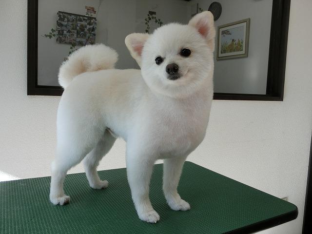フワシャキッと格好カワゆいとちゃんに変身(*´▽`*) 子犬の様な可愛さプラス~☆