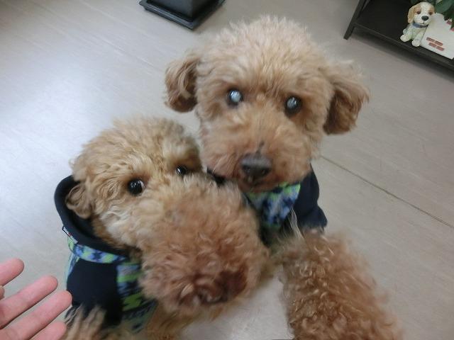 ルンルンやっほ~で来店してくれました♪ Tプードルのライアちゃん(右)リアンちゃん(左)(*'ω'*)