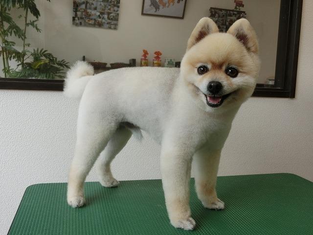 今日もスッキリカットしてお手入れし易いスタイルになりました☆ Dogismのカットはなんかその……サッパリします!!