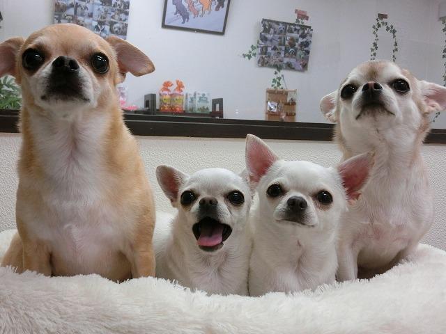 素敵な家族にいっっつも癒されてます(*^^*) 左からジュンスちゃん、ティアラちゃん、ピナちゃん、ミユちゃん♪お利口さんにゴージャスお手入れお疲れ様でした(#^.^#)