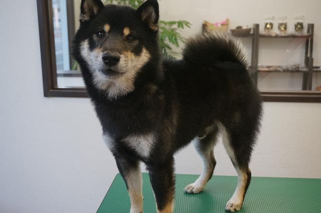 続いて柴犬のビターちゃん(*'ω'*) 今日もグイグイ~なぜか犬舎に入りたがる~来店してくれました♪な~ぜ?(;´Д`) 薬用のシャンプーコースでキラリンイケイケメンに(*´▽`*)