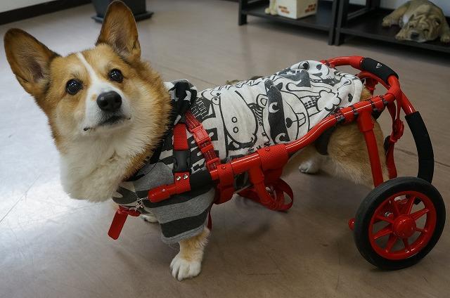 続いてお手入れで来店♪コーギーの大吉ちゃん(*'ω'*) 完成した車いすを見せて頂きました✨ 大ちゃん最高やん♪カックイィやん(*´▽`*) 電信柱とか角とか引っかかるの注意してお散歩楽しんでね♪おつでした(*^^)v