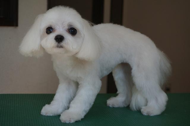 スッキリBODYの丸顔美少女に(*^▽^*) さらに子犬らしく愛らしくビューティーなアメリちゃんです✨