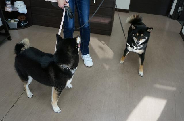 続いて柴犬のうずめちゃん(*'ω'*)(右) はなちゃんとはお友達で今日はたまたま同じお日にちになりました✨