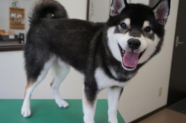 続いて柴犬の麻呂ちゃん☆ シャンプーコースで抜け毛ドッサ~煌びやかBOYに(*^▽^*)