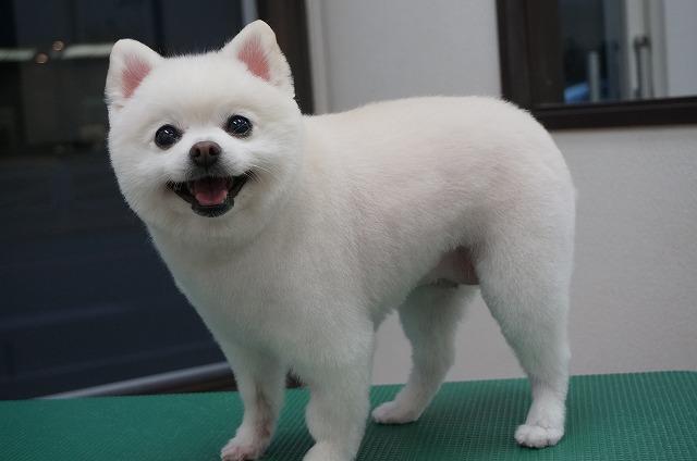 スッキリカットで愛くるしさ限界突破♪チャーミーココちゃんに(*^▽^*) 子犬感プラスでココちゃんの魅力が全面に出ちゃってます(^^)/
