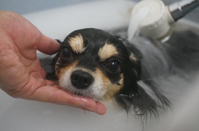 チワワのめいぷるちゃん☆ ちょびっとシャイなセクシー系お嬢さんです♪ バブル入浴でほかほかのシュワシュワ肌キラリン(*´ω`)