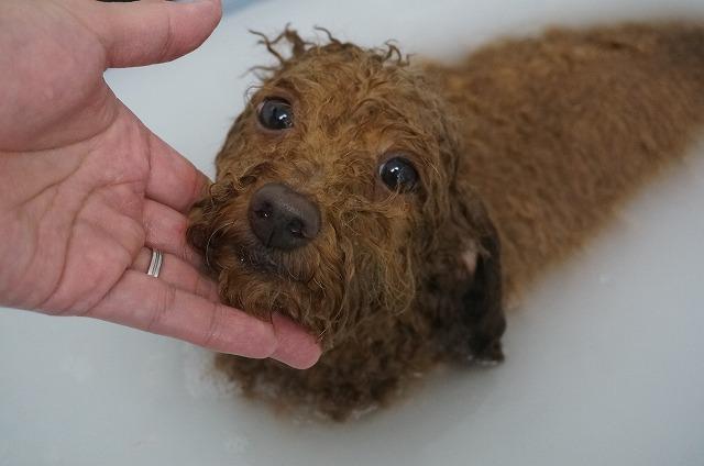 続いてTプードルのイヴちゃん☆ 寂しがり甘えん坊の可愛らしいお嬢さんです♪ どっぴり優雅な入浴で女子力UPよ~つって(*´Д`)