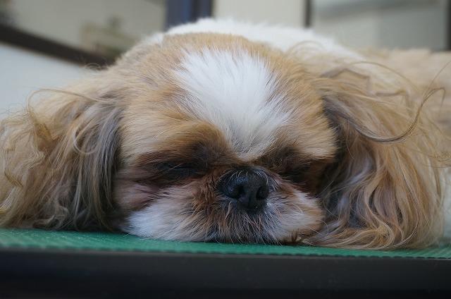 今日はいつもよりさらに眠いみたいだね(*´Д`)♪ 頑張ろう✨ ちょいモサ~したチャッピーちゃんが~~