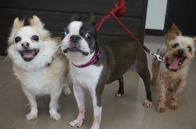 続いてビューティー三姉妹の登場です♪ 左からチワワのさくらちゃんボストンテリアのうめちゃんヨーキーのももちゃん☆ 暑っい中本当にありがおう(+_+)