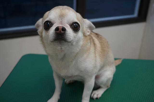 艶感MAXな美女ママミユちゃんに(*´▽`*) 今日も甘えん坊で尻尾ブンブンしながらスピーディーにお手入れ完了でした☆ ミユちゃんいつも魅了しまくってくれてありがとうね(*^^)v