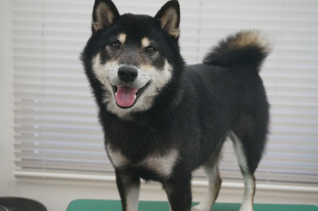 続いて柴犬のビターちゃん☆ シャンプーコースでサッパリ爽快俺イケメン(*´▽`*)