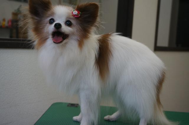 続いてパピヨンのピピちゃん☆ シャンプーコースでふんわりサララ~美しく(*´▽`*)