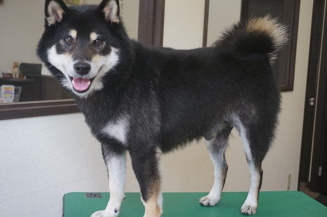 柴犬のビターちゃん☆ 今日も甘えん坊~しながらシャンプーコースでぴかBOYに(*´▽`*)