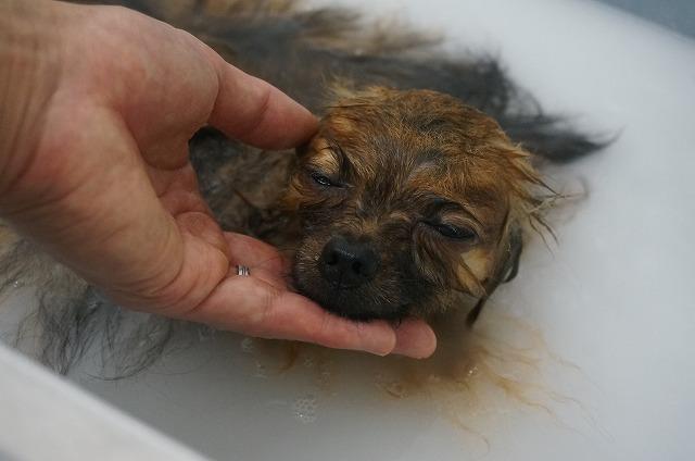 続いてポメラニアンのぷうちゃん☆ シャンプー&バブル入浴でホカホカぬくぬくいい気分(*´Д`) シュワシュワ~っとたっぷり洗浄したら~~