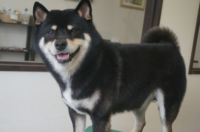 柴犬のげんまいちゃん☆ シャンプーコースでぴかBODYイケメンに(*^▽^*) 今日も格好可愛く綺麗になって嬉しいね♪ げんちゃんおつでした✨