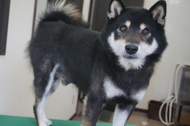 続いて柴犬のビターちゃん☆ シャンプーコースでぴかてかBODYのナイスガイ(*´▽`*) ちょい甘えん坊しながら今日もお利口さんでした(*^^*) ビターちゃん!次回も仲良くお手入れ楽しみにしてるよ☆
