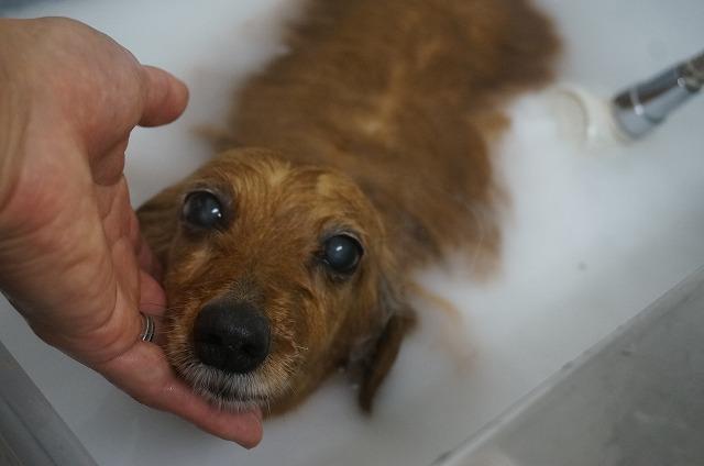 Mダックスのチビちゃん☆ シャンプー&バブル入浴でぴかぴか肌の素敵レディーに(*´▽`*) たっぷりシュワシュワしたら~~
