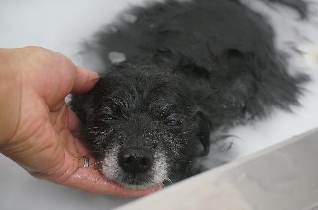 続いてMixのティアラちゃん☆ シャンプー&バブル入浴でウットリぬくぬくいい気分~(*´Д`)
