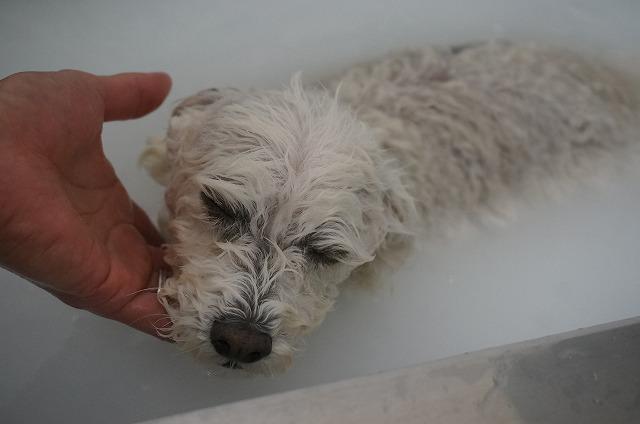 バブル入浴でコックリコックリいい気分~(*´Д`) 沈まないでね~大丈夫か~いも~ココちゃんは~♪っと洗浄したら~~