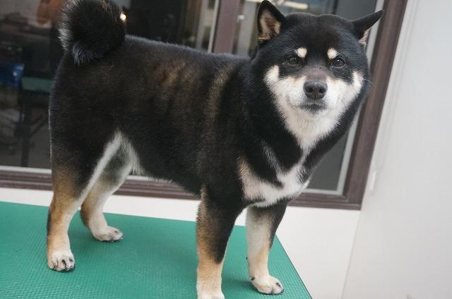 続いて柴犬のげんまいちゃん☆ シャンプーコースでツヤさら~んなイケメンげんちゃんに(*´▽`*)