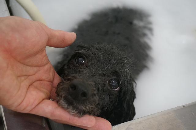 シャンプー&バブル入浴でコトコトお美女磨き(*´Д`) つぶらな瞳でハートばっきゅ~ん♪してくれながら~の~シュワシュワ洗浄したら~~