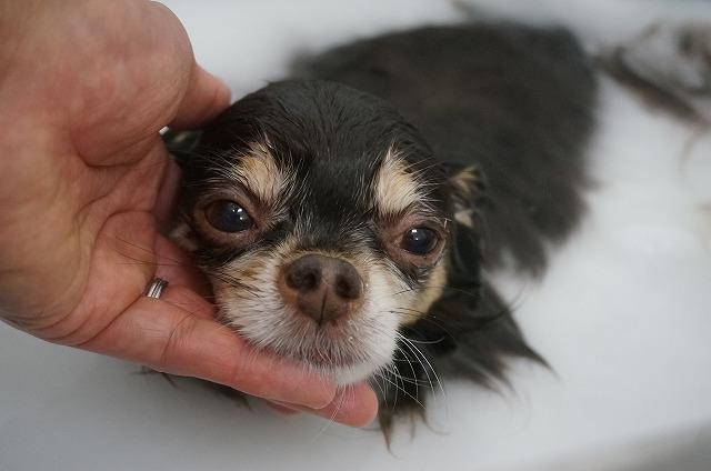 続いて相棒でチワワのヒメちゃん☆ ちょっぴりシャイな素敵お嬢さんです♪ バブル入浴で毛穴ぴっか~になっちゃうよ~(*´Д`)