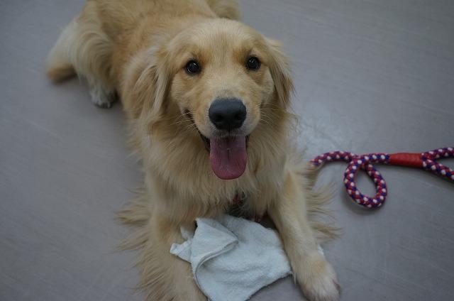 っと今日もや~や~ワンパク全開で来店♪ ゴールデンの太郎ちゃん☆ 大型犬でこのワンパク…たまらんすわ~(*´Д`)♥