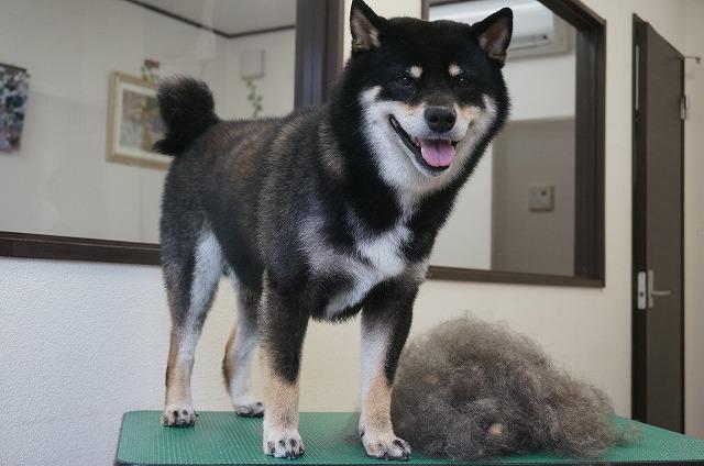 続いて柴犬のげんまいちゃん☆ ちょっぴりシャイな小顔BOYです♪ シャンプーコースで抜け毛ドッサ~(*´▽`*) でもって抜け毛と共に~♪