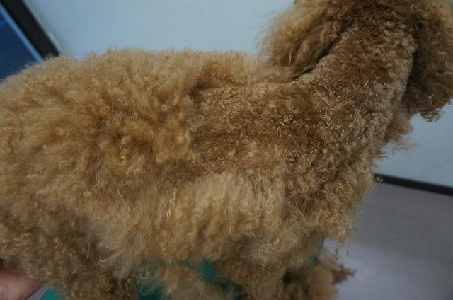 毛刈りじゃ~ 羊の毛刈りじゃ~~ 違う犬の毛刈りじゃ~~ っとドッサリカットしたら~~
