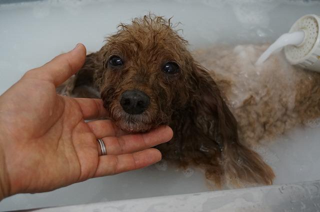 Tプードルのうみちゃん☆ シャンプー&バブル入浴でほっこり清潔ぴかぴかBOYに(*´Д`)