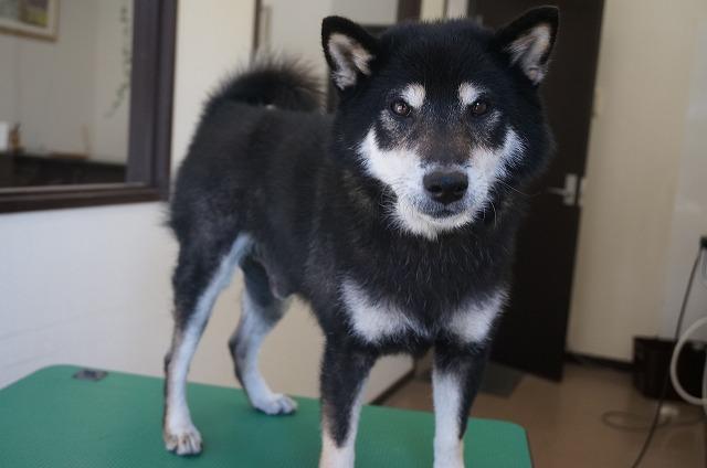柴犬のビターちゃん☆ 今日もシャンプーコースでぴかBOYに(#^.^#)