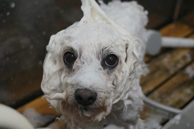 シャンプー中の俺…ドヤッ☆ 濡れると別犬俺やで~♪ 今日も愛情バッチリスーパーハイパー無駄に頭ツンツンつまみ~したくなるよ~シャンプーしたら~~