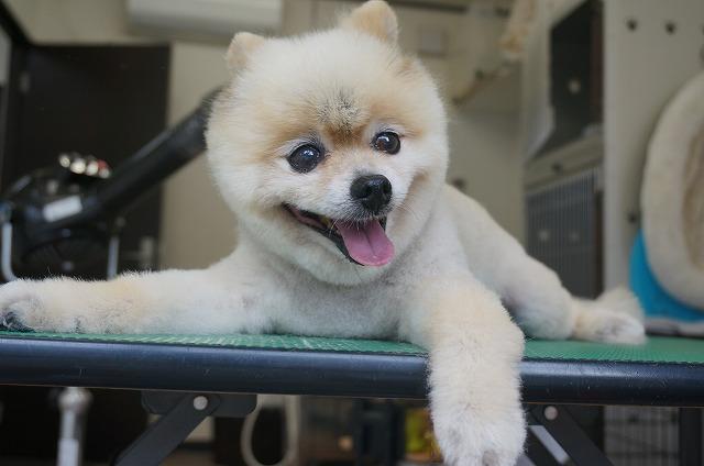 ど~も! 一応看板犬のチップです! 今日もヘトリながらトリミング頑張りました☆ふぃ~ 10月15日来店のワンちゃん達を紹介します(^^)/